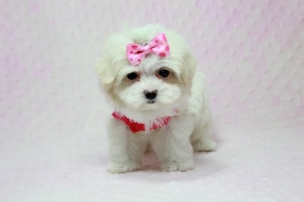 Snowball - Teacup Maltese Puppy In L.A Found A New Loving Home With George From Sun land CA 91040-11764