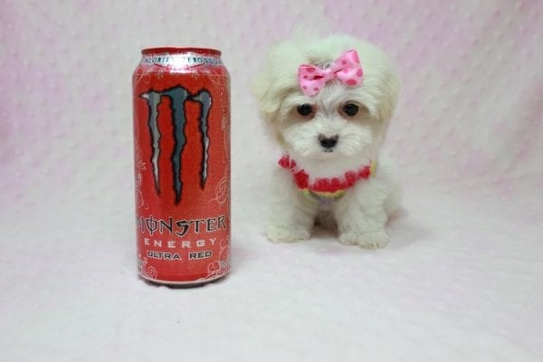 Snowball - Teacup Maltese Puppy In L.A Found A New Loving Home With George From Sun land CA 91040-0