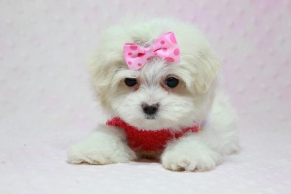 Snowball - Teacup Maltese Puppy In L.A Found A New Loving Home With George From Sun land CA 91040-11768