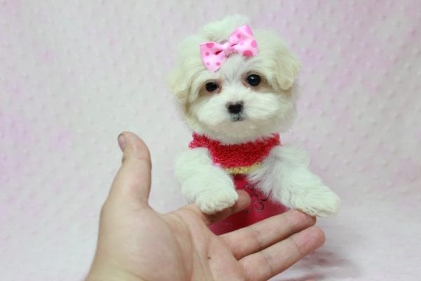 Snowball - Teacup Maltese Puppy In L.A Found A New Loving Home With George From Sun land CA 91040-11763