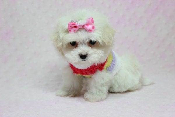 Snowball - Teacup Maltese Puppy In L.A Found A New Loving Home With George From Sun land CA 91040-11766