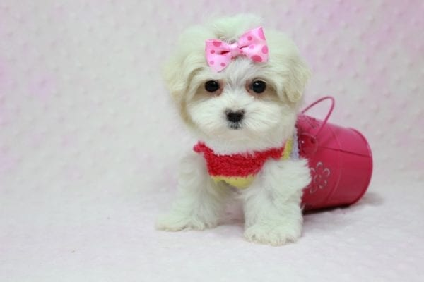 Snowball - Teacup Maltese Puppy In L.A Found A New Loving Home With George From Sun land CA 91040-11760