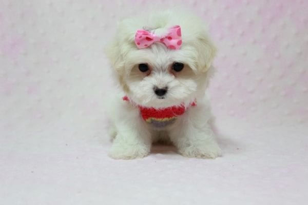 Snowball - Teacup Maltese Puppy In L.A Found A New Loving Home With George From Sun land CA 91040-11767