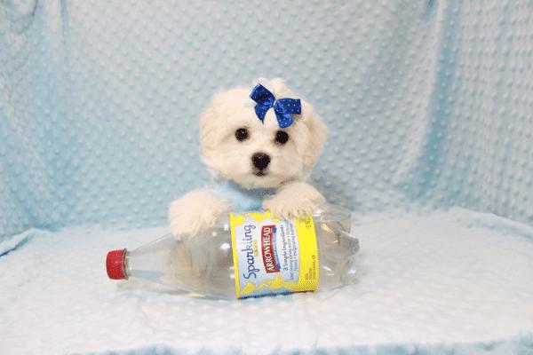 Snowflake - Teacup Maltese Puppy In Las Vegas-12144