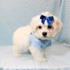 Snowflake - Teacup Maltese Puppy In Las Vegas-12148