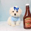 Snowflake - Teacup Maltese Puppy In Las Vegas-12145