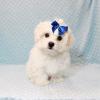 Snowflake - Teacup Maltese Puppy In Las Vegas-12149