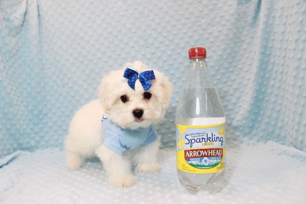 Snowflake - Teacup Maltese Puppy In Las Vegas-12146