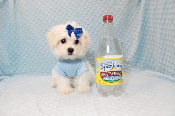 Snowflake - Teacup Maltese Puppy In Las Vegas-0