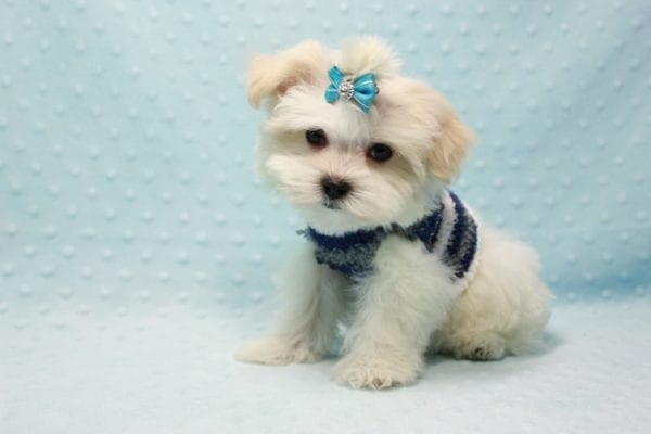 Snowman - Teacup Maltese Puppy In L.A Found A New Loving Home With Yanisilis From Miami Springs FL 33166-11769