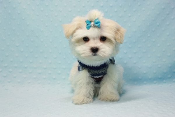 Snowman - Teacup Maltese Puppy In L.A Found A New Loving Home With Yanisilis From Miami Springs FL 33166-11771