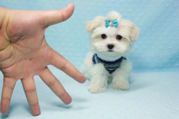 Snowman - Teacup Maltese Puppy In L.A Found A New Loving Home With Yanisilis From Miami Springs FL 33166-11772