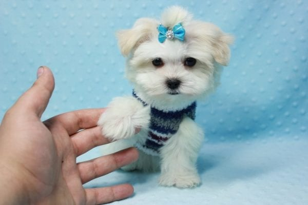 Snowman - Teacup Maltese Puppy In L.A Found A New Loving Home With Yanisilis From Miami Springs FL 33166-11775