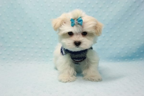 Snowman - Teacup Maltese Puppy In L.A Found A New Loving Home With Yanisilis From Miami Springs FL 33166-11770