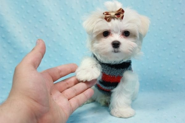 Snowy - Teacup Maltese Puppy In L.A Found A New Loving Home With Adel Los Angeles CA -11608