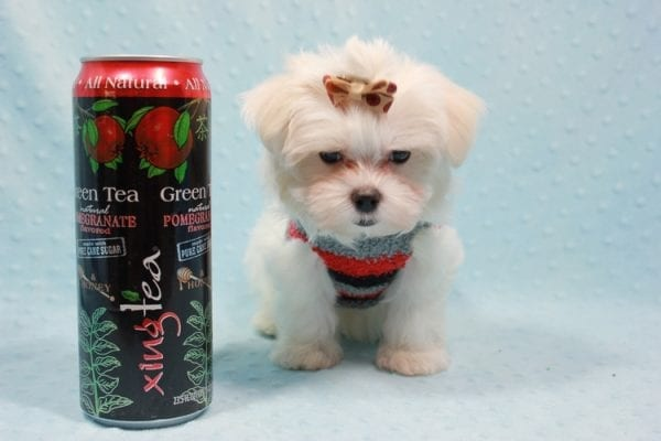 Snowy - Teacup Maltese Puppy In L.A Found A New Loving Home With Adel Los Angeles CA -11610