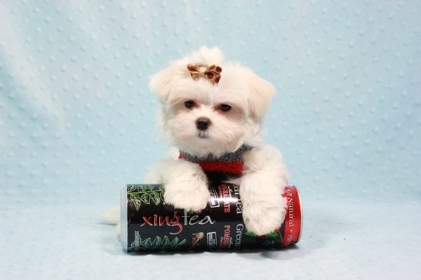 Snowy - Teacup Maltese Puppy In L.A Found A New Loving Home With Adel Los Angeles CA -11604