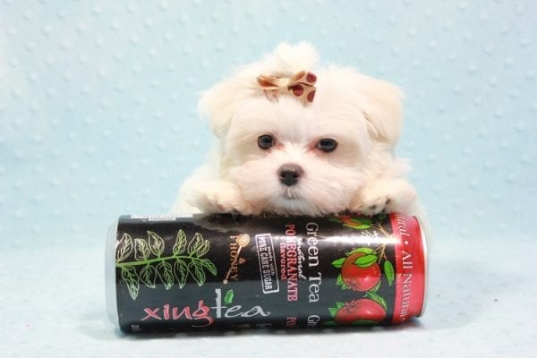Snowy - Teacup Maltese Puppy In L.A Found A New Loving Home With Adel Los Angeles CA -11609
