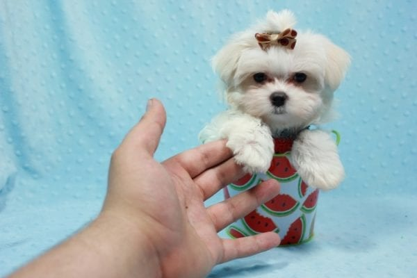 Snowy - Teacup Maltese Puppy In L.A Found A New Loving Home With Adel Los Angeles CA -11611