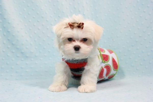 Snowy - Teacup Maltese Puppy In L.A Found A New Loving Home With Adel Los Angeles CA -11605