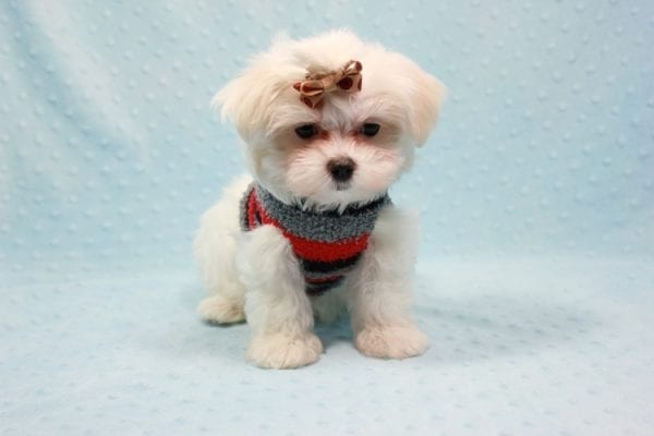 Snowy - Teacup Maltese Puppy In L.A Found A New Loving Home With Adel Los Angeles CA -11613