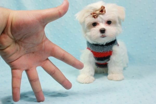 Snowy - Teacup Maltese Puppy In L.A Found A New Loving Home With Adel Los Angeles CA -0