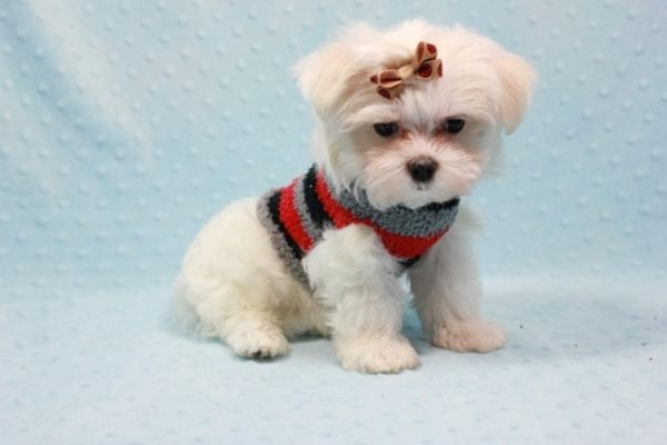 Snowy - Teacup Maltese Puppy In L.A Found A New Loving Home With Adel Los Angeles CA -11612