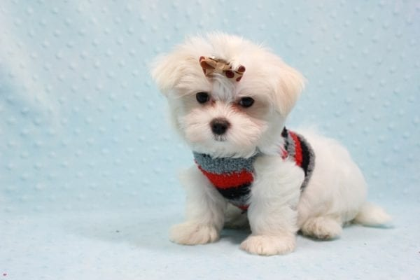 Snowy - Teacup Maltese Puppy In L.A Found A New Loving Home With Adel Los Angeles CA -11606