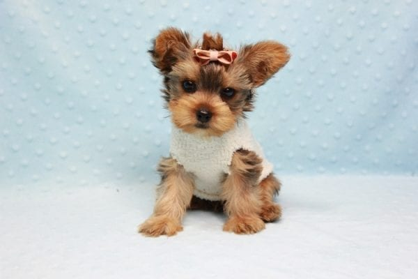 Tarzan - Teacup Yorkie Puppy In L.A-11440