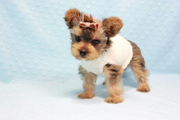 Tarzan - Teacup Yorkie Puppy In L.A-11435
