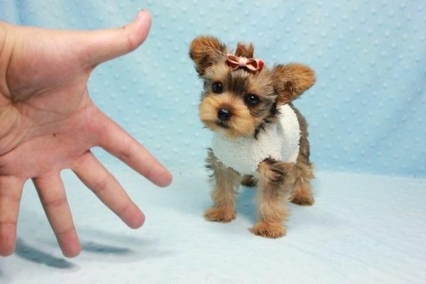 Tarzan - Teacup Yorkie Puppy In L.A-0