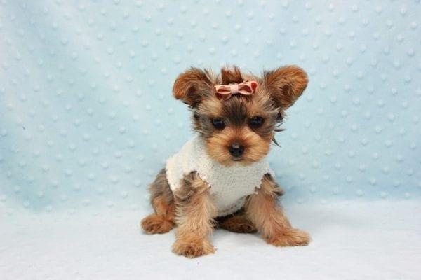 Tarzan - Teacup Yorkie Puppy In L.A-11439