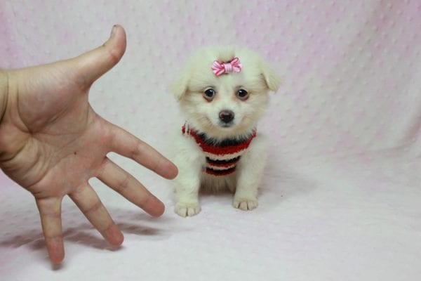 Taylor Swift - Small Pomtese Puppy In L.a Found A new Loving Home -11777