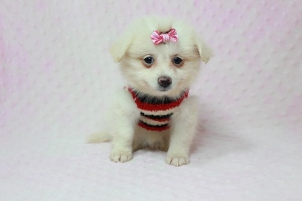 Taylor Swift - Small Pomtese Puppy In L.a Found A new Loving Home -11780