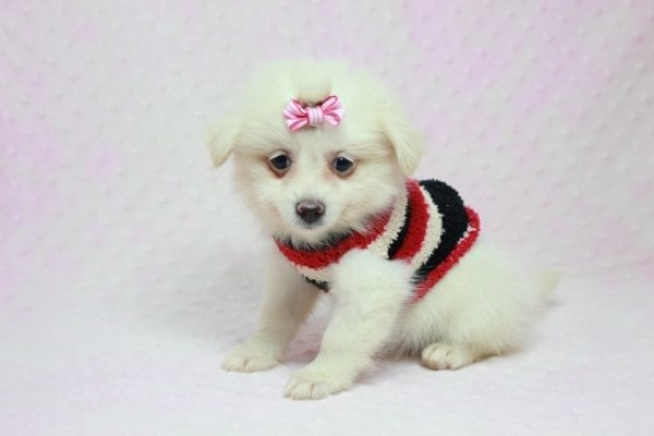 Taylor Swift - Small Pomtese Puppy In L.a Found A new Loving Home -11779