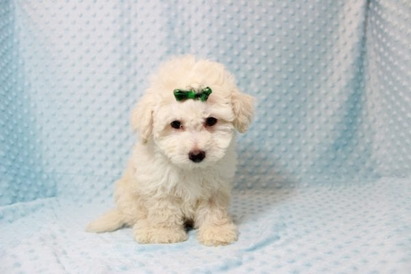 The Bachelor - Toy Maltipoo Puppy has found a good loving home with Beverly from Las Vegas, NV 89141-11629