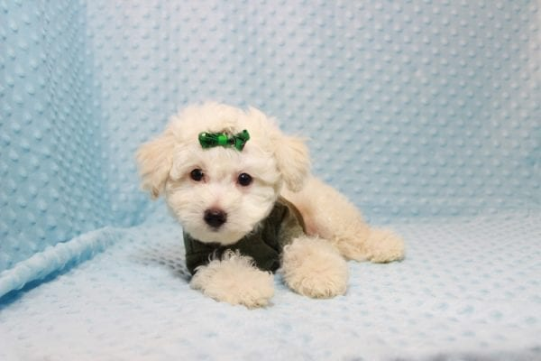 The Bachelor - Toy Maltipoo Puppy has found a good loving home with Beverly from Las Vegas, NV 89141-11624