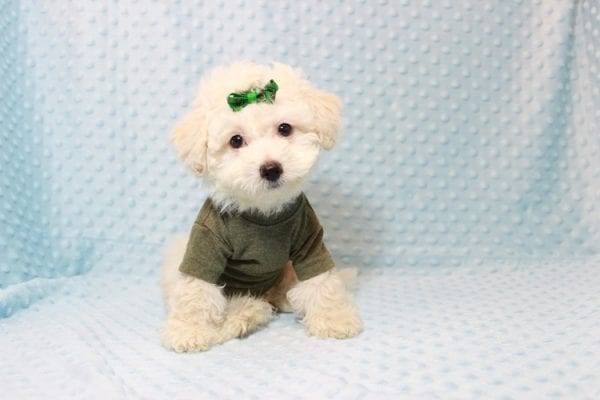 The Bachelor - Toy Maltipoo Puppy has found a good loving home with Beverly from Las Vegas, NV 89141-11622