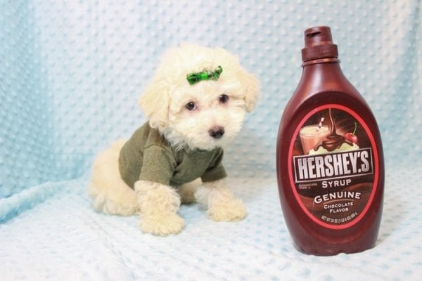 The Bachelor - Toy Maltipoo Puppy has found a good loving home with Beverly from Las Vegas, NV 89141-11626