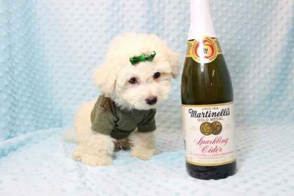 The Bachelor - Toy Maltipoo Puppy has found a good loving home with Beverly from Las Vegas, NV 89141-11625