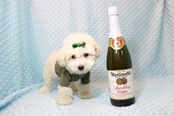 The Bachelor - Toy Maltipoo Puppy has found a good loving home with Beverly from Las Vegas, NV 89141-0