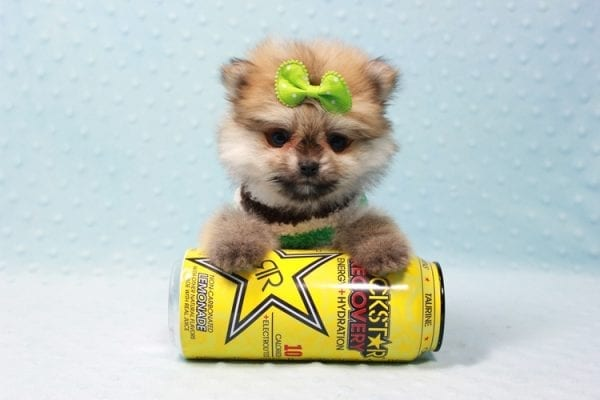 Thomas - Teacup Pomeranian Puppy In L.A Found A New Loving Home with Petra From Beverly Hills Ca 90024 -11691