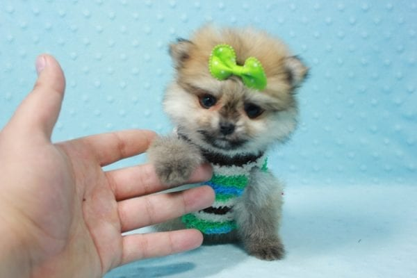 Thomas - Teacup Pomeranian Puppy In L.A Found A New Loving Home with Petra From Beverly Hills Ca 90024 -11687