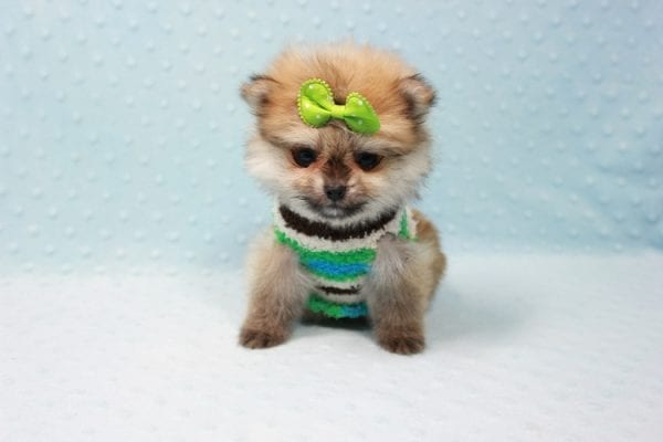 Thomas - Teacup Pomeranian Puppy In L.A Found A New Loving Home with Petra From Beverly Hills Ca 90024 -11690