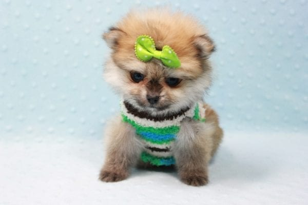 Thomas - Teacup Pomeranian Puppy In L.A Found A New Loving Home with Petra From Beverly Hills Ca 90024 -11685