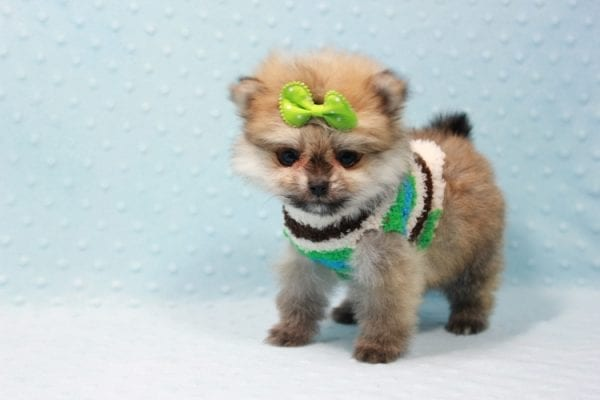 Thomas - Teacup Pomeranian Puppy In L.A Found A New Loving Home with Petra From Beverly Hills Ca 90024 -11693