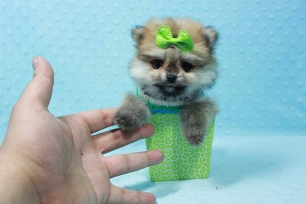 Thomas - Teacup Pomeranian Puppy In L.A Found A New Loving Home with Petra From Beverly Hills Ca 90024 -11684