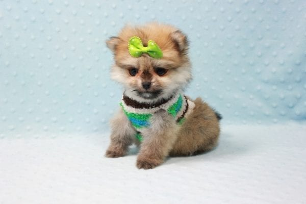 Thomas - Teacup Pomeranian Puppy In L.A Found A New Loving Home with Petra From Beverly Hills Ca 90024 -11689