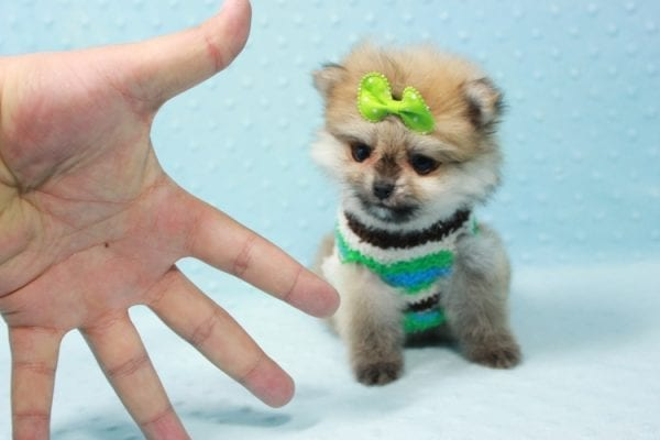 Thomas - Teacup Pomeranian Puppy In L.A Found A New Loving Home with Petra From Beverly Hills Ca 90024 -11686