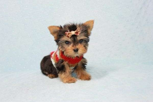 Tiberius - Micro Teacup Yorkie puppy has found a good loving home with Stephen from New York, NY 10023-11400